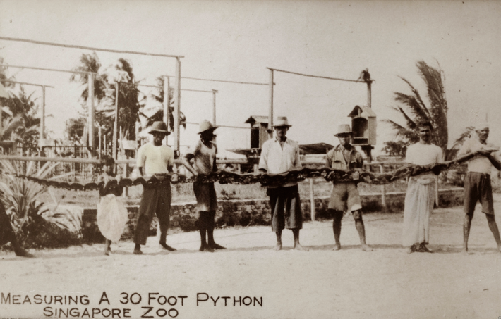 30 foot python. Image taken from singaporebasapa.com