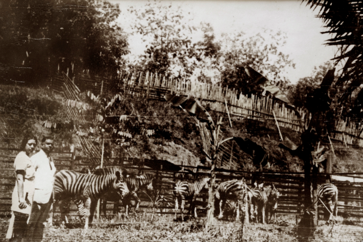 W.L.S. Basapa and Mdm Alberta Maddox among his zebras. Image taken from singaporebasapa.com