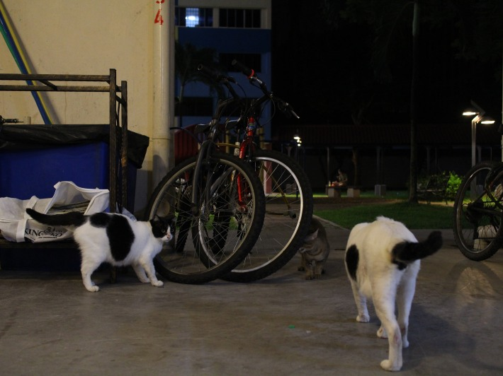 Our Singapore Community Cats 3