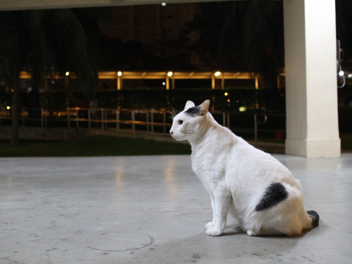 Our Singapore Community Cats 1