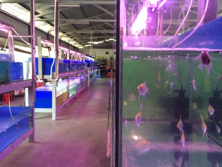 A sharp decline in the ornamental fish business and running out of lease in 2014 may see many fish farms move out of the area pretty soon