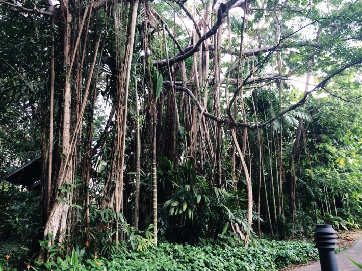 The outlying roots of the Banyan Tree come in all shapes and sizes