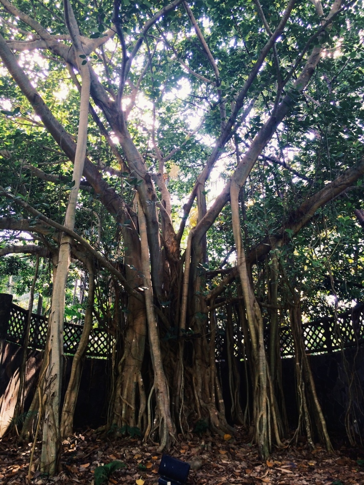 A Banyan tree with outlying roots that eventually strangle the host tree to death