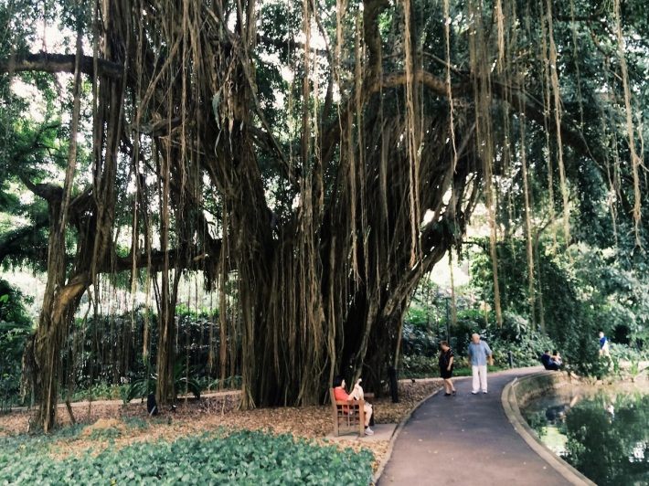 With its aerial roots, this large Banyan Tree near the Tanglin entrance of the Botanic Gardens provides a great shady respite from the heat