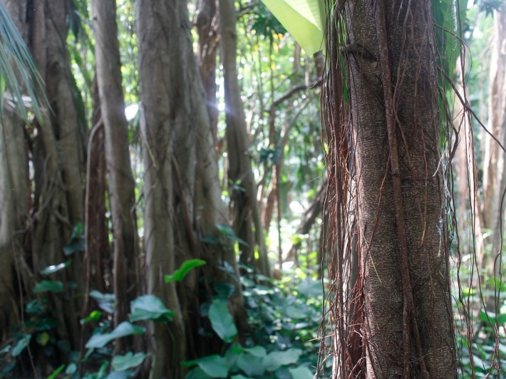 A closer look at some of the stranglers or Hemiepiphyte from the fig plant that eventually form up the Banyan Tree