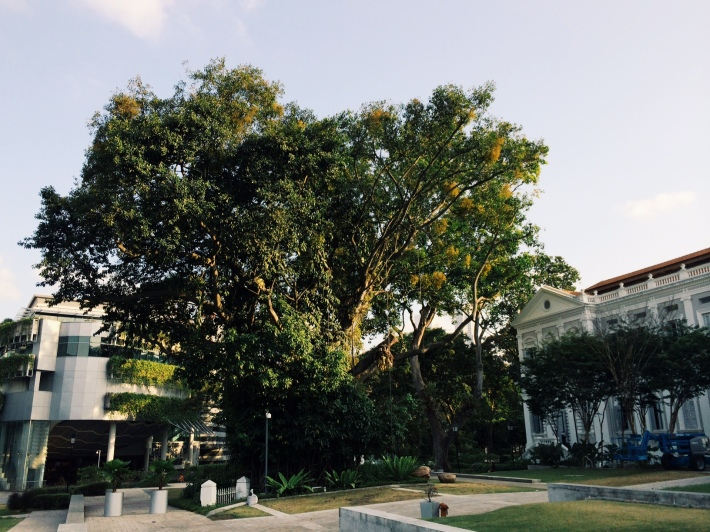 The Banyan Tree at the National Museum of Singapore now plays host to movie screenings and even art installations at times.
