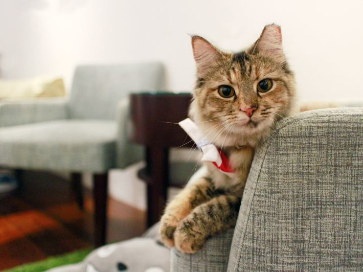 Meringue is one of the eight adorable rescue cats you can meet when visiting The Company of Cats